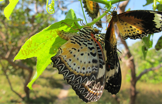 Banteay Srey Butterfly Centre - Acrea pupae - Angkor Focus Travel