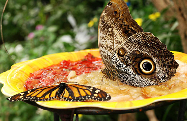Banteay Srey Butterfly Centre - feeding on cashew - Angkor Focus Travel