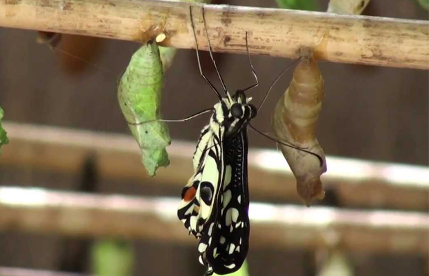 Banteay Srey Butterfly Centre - pupae cages - Angkor Focus Travel