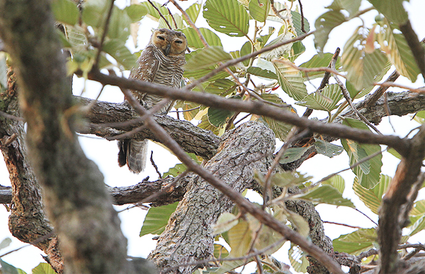 Sam Veasna Center - Spotted Wood Owl - Angkor Focus Travel