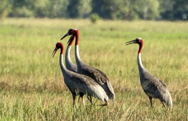 Cambodia Bird Watch -  Sarus Cranes